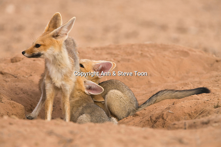 Cape fox family, Vulpes chama, cubs suckling, Kgalagadi Transfrontier Park,Northern Cape, South Africa