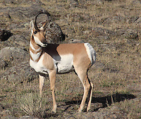 Pronghorn buck. Very sharp and clear. He needs more space in front to move into though, don't you think?