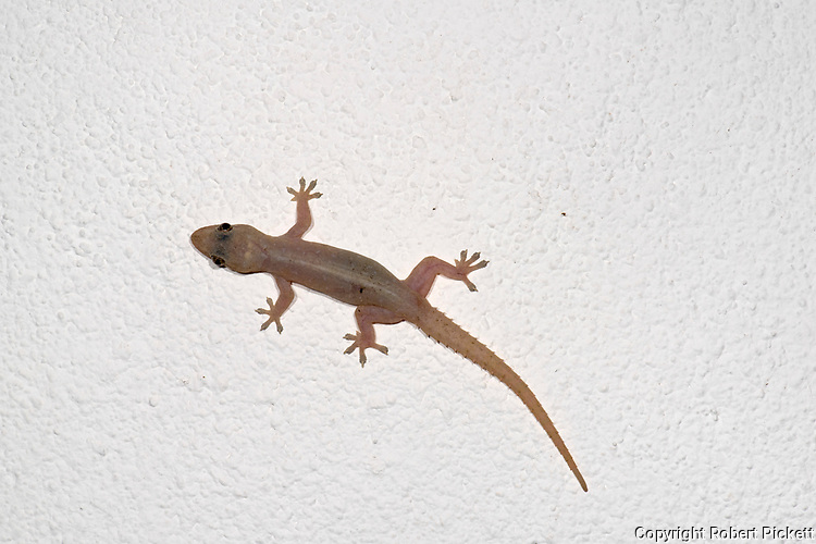 Asian House Gecko, Hemidactylus frenatus, on wall, Sri Lanka