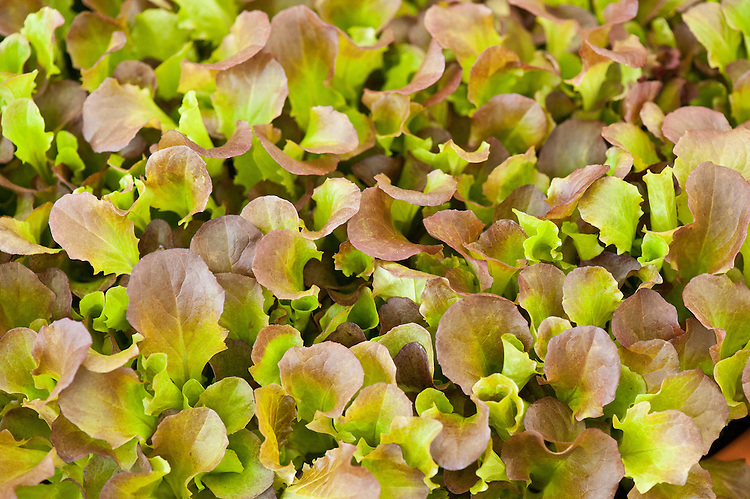 Lettuce 'Red Batavia', early July.