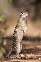 Mexican Ground Squirrel standing up-right