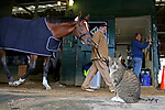 Thomas the barn cat stands guard as Maximum Security walks the shedrow with stable hand Rich Monpanino after a morning gallop at Monmouth Park in Oceanport, New Jersey on Thursday morning May 16, 2019.  Photo By Bill Denver/EQUI-PHOTO