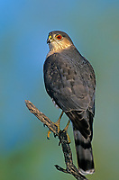 542300002 a wild adult sharp-shinned hawk accipiter striatus perches on a mesquite limb in the lower rio grande valley of south texas united states