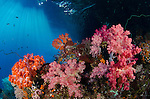 Colourful soft corals under an overhang of a tropical island with sunrays streaming through the water, Daram Island group, Misool, Raja Ampat, Indonesia