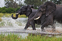 Elephants playing in the water