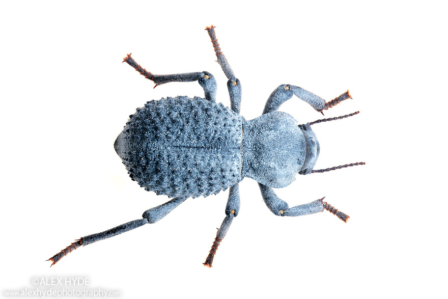 Desert Ironclad Beetle / Blue Death Feigning Beetle (Asbolus verrucosus). Captive, originating from desert regions of the Southwestern United States.
