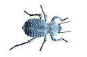 Desert Ironclad Beetle / Blue Death Feigning Beetle (Asbolus verrucosus). Captive, originating from desert regions of the Southwestern United States.