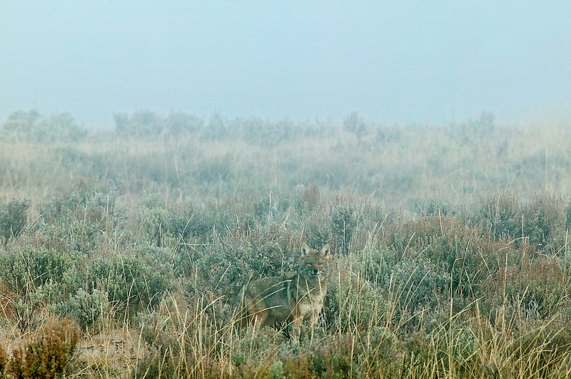 Coyote on banks of Yellowstone River with fog. Yellowstone National Park, Wyoming