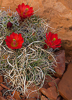 Capitol Reef National Park, UT<br /> Claret Cup Cactus (Echinocereus triglochidiatus) in bloom on the Fremont River Trail