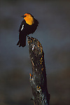 Yellow-headed blackbird perches on a stump in Oregon.