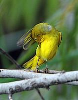Yellow warbler preening