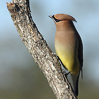 As one of the most heavily frugivorous birds in all of North America, the Cedar Waxwing dines from a buffet of fruits and berries that includes plants such as mulberry, cherry, privet, yew, toyon, hackberry, and choke cherry.