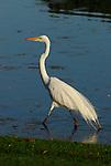 Great egret in the Coachella Valley