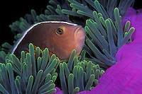 A Skunk Anemonefish, Amphiprion akallopisos, peers from the shelter of its host, a Magnificent Sea Anemone, Heteractis magnifica.  The anemonefish is immune to the tentacles' sting, allowing it to hide from predatory fish that avoid the tentacles. The anemone also benefits, as the anemonefish will fiercely defend its host. Similan Islands Marine National Park, Thailand, Andaman Sea