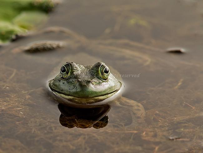A bullfrog floats in Poor Farm Swamp.