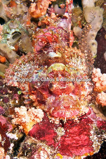 Scorpaenopsis sp., scorpionfish, Indonesia