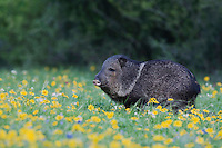 Collared Peccary, Javelina (Tayassu tajacu), adult in field of Huisache Daisy (Amblyolepis setigera), Sinton, Corpus Christi, Coastal Bend, Texas, USA