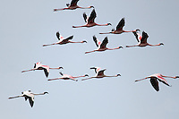 Stock photo: Khijadiya Birds Sanctuary flamingos in flight against grey sky. Image is available for Editorial/Non-commercial Use Only.<br /> <br /> The Khijadiya Bird Sanctuary is a must visit place in Gujarat, India for birdwatchers and nature students alike. <br /> <br /> It's a one of a kind wonder of ecology and warmly provides a safe haven for about 300 Migratory birds every year.