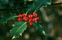 Gewöhnliche Stechpalme, Früchte, Hülse, Ilex aquifolium, Common Holly