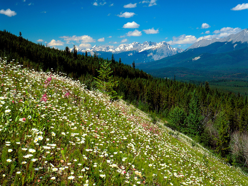 Art in Nature 9607-0102 - This scenic ridge of wildflowers in Kootenay National Park provides a welcome entrance to the Canadian Northern Rockies. British Columbia, Canada.