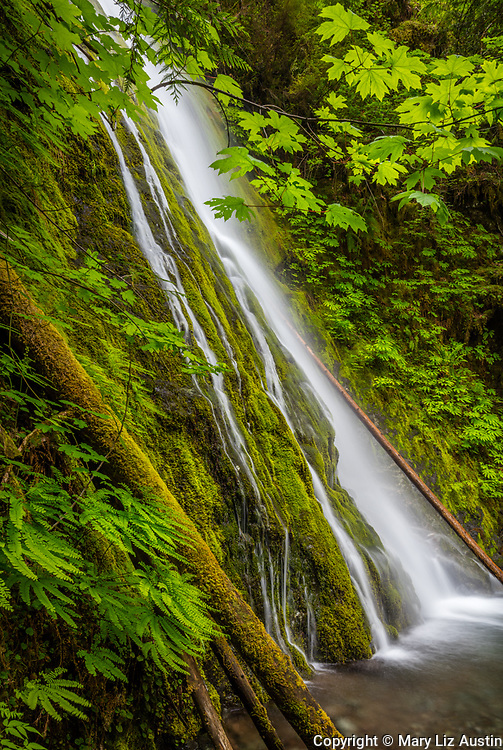 Olympic National Park, WA: Madison Creek Falls with maidenhair fern on the moss walls in the Elwha river valley
