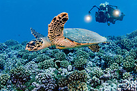 Scuba Diver and Hawksbill Turtle (Eretmochelys imbricata) in Rangiroa, French Polynesia.