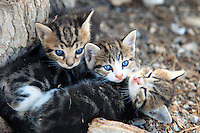 Feral kittens play next to the seaside in Rethymno on the island of Crete, Greece.