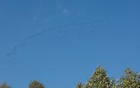 Kranich, Kraniche im Flug, Formation, Flugormation, Zuggeschehen, auf dem Zug, Schwarm, Trupp, Grus grus, common crane