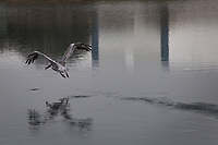 Leaving a trail of disappearing footprints on the water, a Brown pelican takes flight over San Leandro Bay at the Martin Luther King Jr. Regional Shoreline in Oakland, California.