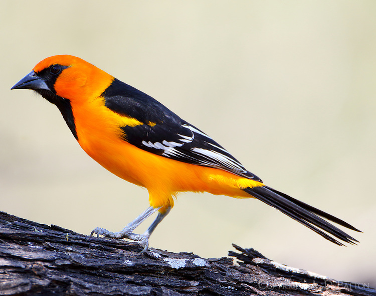 Altamira oriole adult