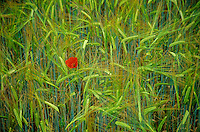 Poppy flower in grain field, May in the Gaillac Region, Tarn District of southwestern France, AGPix_0120.