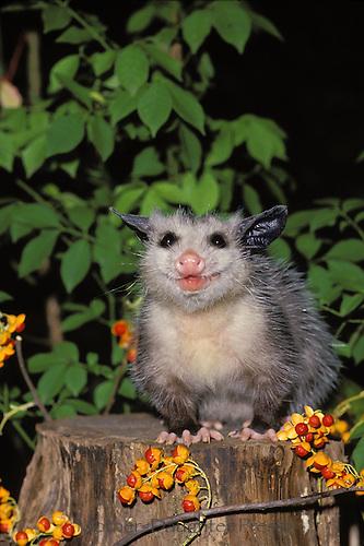 Opossum (Didelphis marsupialis) on tree stump with wild bittersweet berries MIssouri USA