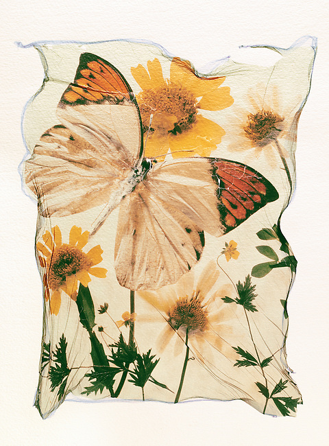 Orange tipped butterfly with wild pressed flowers in a graphic arrangement - Polaroid lift.