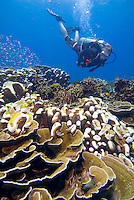 Malaysia, October 2010.  The coral reefs of Tioman are slowly recovering from massive coral bleaching due to warm water caused by the el nino, la nina climate changes. Photo by Frits Meyst/Adventure4ever.com
