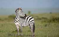 Plains Zebra surveys the Masai Mara, Kenya.