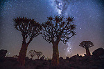Quiver tree or kokerboom, Karas Region, Namibia<br />