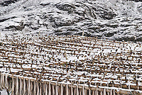 Cod stockfish drying in cold winter air, Lofoten Islands, Norway