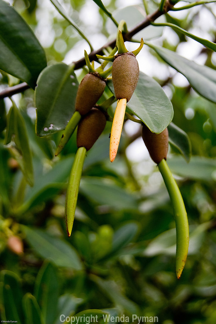 Seedpods, or propagules of the Red Mangrove.