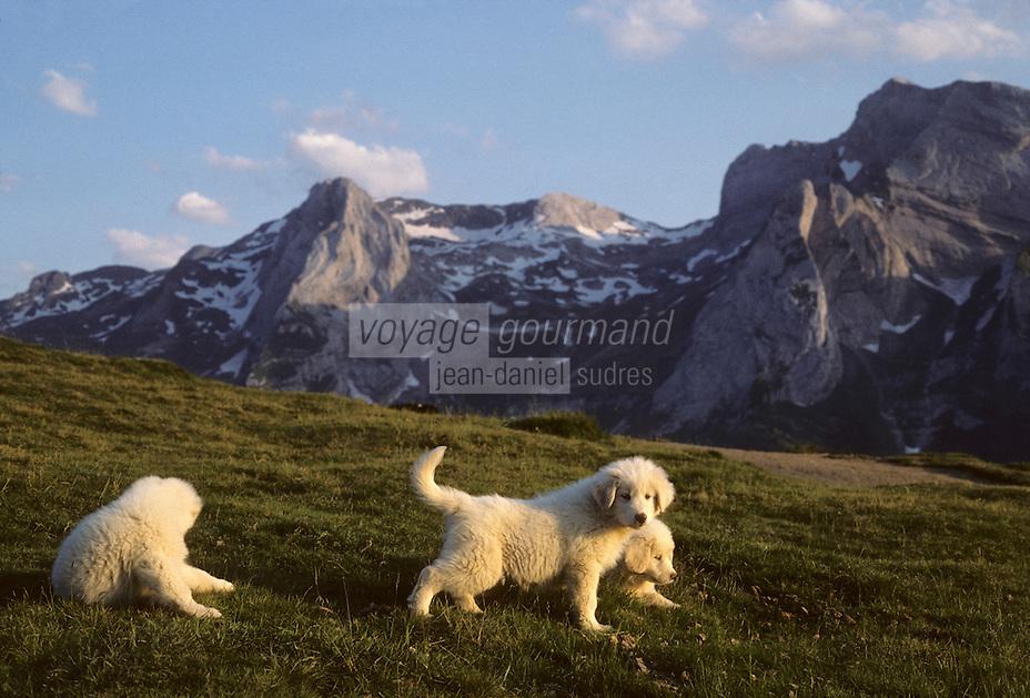 Europe/France/Aquitaine/64/Pyrénées-Atlantiques/Parc National des Pyrénées: Chien de montagne des Pyrénées au col d'Aubisque