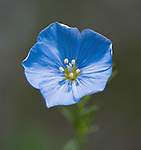 Blue Flax Wildflower blossom