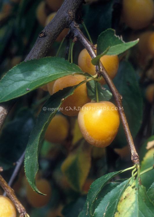 Prunus armeniaca Apricot Sweetheart Dwarf variety