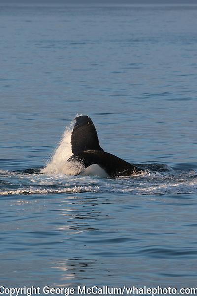 Humpback whales (Megaptera novaeangliae) Lobtailing to corral Capelin (Mallotus villosus). White Island, Svalbard archipelago, Arctic Ocean