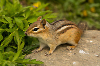 Eastern Chipmunk (Tamias striatus).  Great Lakes Region.  May.