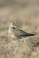 Whimbrel (Numenius phaeopus). Yukon Delta National Wildlife Refuge, Alaska. June.