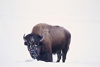 610658572 a wild bison bison bison forages for grasses in a snowbank during a winter storm in yellowstone national park wyoming