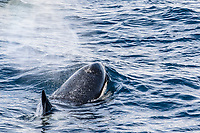 killer whale or orca, Orcinus orca, Type A killer whale, spouting, blowing, Gerlache Strait, Antarctica, Southern Ocean