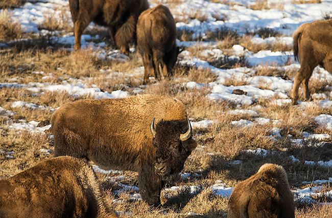 A young bison bull looks back into the sunset in Yellowstone National Park in Wyoming, USA, on Feb 8Th 2015. Photo by Gus Curtis.