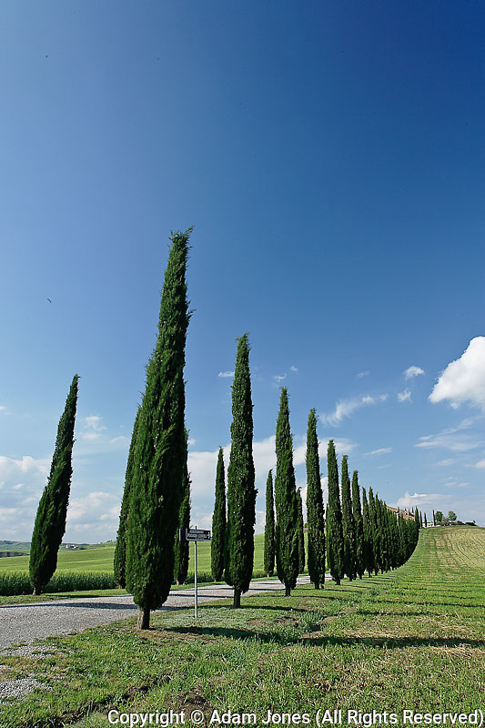 Driveway lined with stately cypress trees, Tuscany, Italy