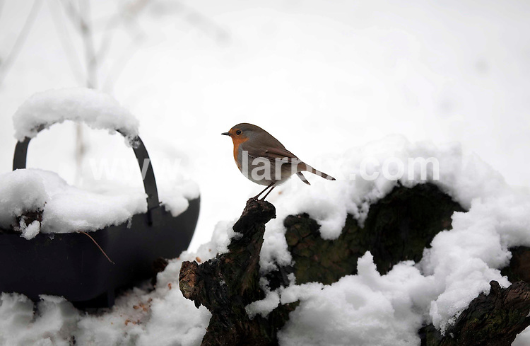 **ALL ROUND PICTURES FROM SOLARPIX.COM**.**NO UK NEWSPAPER PUBLICATION**.**UK MAGAZINE & SUPPLEMENT PUBLICATION ONLY** AND NO PUBLICATION IN AUSTRALIA, FRANCE, GERMANY, ITALY AND SCANDINAVIA** .As more snow hits the UK, animals are pictured in the snow in Buckinghamshire, UK. 6 February 2009..This pic: A Robin..JOB REF: 8404 SFE       DATE: 06_02_2009.**MUST CREDIT SOLARPIX.COM OR DOUBLE FEE WILL BE CHARGED**.**ONLINE USAGE FEE  GBP 50.00 PER PICTURE - NOTIFICATION OF USAGE TO PHOTO @ SOLARPIX.COM**