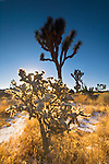 Morning light through Cholla Cactus, Joshua Tree National Park, California